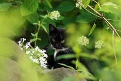 Jack loves his garden (katjacarmel) Tags: garden nature cat dieren pet huisdier pets animals gato chat green grass flowers summer kat kater katten animal