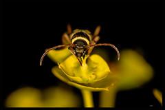 Longhorn (listera_ovata) Tags: bug insect böcek macro makro closeup nature naturephotography macrophotography closeupphotography canonef100mm28macro sonya7ii t10ringflash euphorbia faunaofanatolia cerambycidae longhornbeetle beetle
