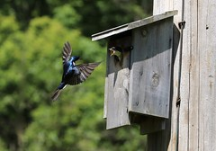 What Took You So Long (Diane Marshman) Tags: treeswallow small bird blue back head upper dark wings black white underneath belly action motion flying inflight feeding baby young nesting box birdhouse adult male mature nature wildlife summer pa pennsylvania