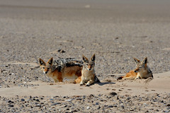 Wild jackals are opportunists and not afraid of humans