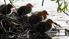 Coot Chicks (LouisaHocking) Tags: wild wildlife southwales wales cardiff roathpark roath park lake water waterfowl nature british bird duck wildfowl chicks chick