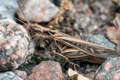 A Rock That Won't Budge - _TNY_5561 (Calle Söderberg) Tags: macro canon canon5dmkii canoneos5dmarkii canonef100mmf28usmmacro canon5dmarkii 5d2 flash meike mk300 glassdiffusor raynox dcr250 insect chorthippus brunneus grasshopper fieldgrasshopper commonfieldgrasshopper gräshoppa markgräshoppa fältgräshoppa backgräshoppa braunegrashüpfer braunergrashüpfer grashüpfer glyptobothrus acrididae caelifera rätvinge orthoptera tan pattern camouflage rocks pebbles gravel push f22