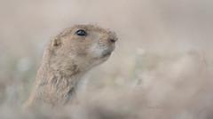 Prairie Dog (Pragmatic1111) Tags: oklahoma animal nature fur mammal prairiedog blacktailedprairiedog nikon d850 wind windy grass bokeh face portrait wild