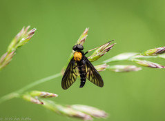 Gold-backed snipe fly (vaneramos) Tags: chrysopilusthoracicus goldenbackedsnipefly twinoaks insect macro