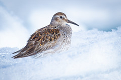 ᑐᓪᓕᒃ | Purple Sandpiper | Calidris acuminata | Breeding Plumage (Paul B Jones) Tags: purplesandpiper calidrisacuminata floeedge baffinisland bylotisland nunavut arctic canada bird wildlife animal nature ice snow white breedingplumage canoneos1dxmarkii ef600mmf4lisiiiusm ef14xiii ᑐᓪᓕᒃ