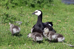 Barnacle Goose Family! (RiverCrouchWalker) Tags: brantaleucopsis barnaclegoose barnaclegoosefamily holkhampark norfolk bird summer june 2019 goslings
