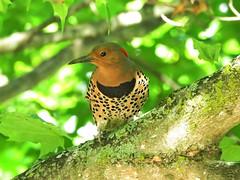 Flicker (Photos by the Swamper) Tags: birds woodpeckers flicker