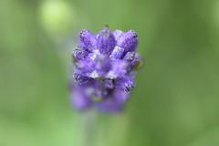 Hidcote Lavender (Henry Ash) Tags: hidcote lavender flower purple tamron nikon dx 90mm d7200 norfolk norwich henryash