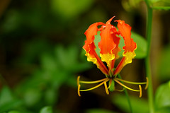 Yellow and red flower (Dingilingi) Tags: aitutaki polynesia cookislands