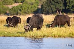 Herd of Cape Buffalo in Chobe National Park (Botswana, Africa) (Jersey Camera) Tags: africa botswana chobenationalpark pangolinphotosafaris buffalo capebuffalo safari
