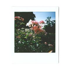 Ladd roses (itskaty) Tags: lomography lomo diana lomodianainstantsquare dianainstantsquare dianainstant instax instantfilm instantphotography instant instaxsquare fujifilm fujifilminstaxsquare portland pdx oregon laddsaddition laddcircle roses rosegarden garden