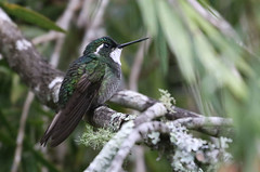 White-throated Mountain-gem - Lampornis castaneoventris -Savegre Valley, San José, Costa Rica - June 11, 2019 (mango verde) Tags: whitethroatedmountaingem lamporniscastaneoventris trochilidae hummingbirds lampornis castaneoventris hummingbird bird savegrehotel savegrevalley sanjosé costarica mangoverde