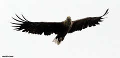 White tailed sea eagle J78A0409 (M0JRA) Tags: scotland isles mull sea water waves boats reflections land birds holidays vacations sky clouds sunset sun deer fields roads eagles