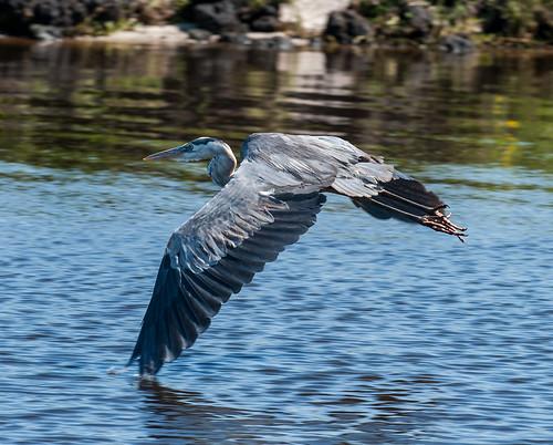 Heron keeping its wingtips cool!