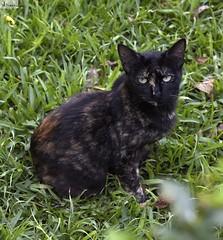 Gato de ojos verdes. (In Dulce Jubilo) Tags: cat gato animals animal salvaje wild naturaleza nature fotografía photography ojos eyes verde green espagne españa spain spanien