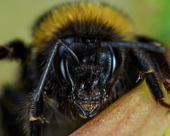 Bumble Bee (captivephotons) Tags: bee olympus macro
