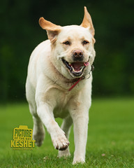 Picture of the Day (Keshet Kennels & Rescue) Tags: adoption dog ottawa ontario canada keshet large breed dogs animal animals pet pets field nature photography yellow lab labrador retriever happy run play smile smiles lawn grass joy