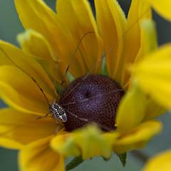 Resting (Macro Lord) Tags: spider yellow flower long daddy leg longleg black eyed susan macro nikon d750 nikkor 105mm