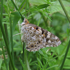 Painted Lady, Kingmoor Nature Reserve, 25 June 19 (gillean55) Tags: canon powershot sx60 hs superzoom bridge camera cumbria kingmoor north nature reserve carlisle nnr paintedlady vanessacardui