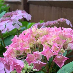 Hydrangea season is coming!