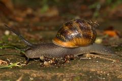 Stately progress (bramblejungle) Tags: garden snail helix aspersa cornu aspersum
