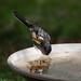 spotted_towhee_bird_bath-20190625-100