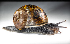 The snail. (CWhatPhotos) Tags: cwhatphotos flickr snail closeup macro shell slime