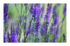 Purple haze! (Nina_Ali) Tags: purple flora flowerart depthoffield flowers
