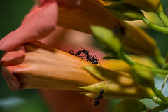Ants on an Alcea in Nea Artaki/ Chalkida on Euboea on June 25, 2019 (X-Andra) Tags: alcea flowersplants formicidae formicoidea summer eusocialinsects insect insects macro chalkida centralgreece greece