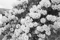 Flowers lo-Fi Noir (bigalid) Tags: film 35mm minolta f25 ilford xp2 bw may 2019 dumfries c41 plastic fixedfocus flowers