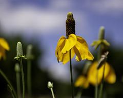 Cone Flower (MJ:Architect) Tags: coneflower wichitamountainswildliferefuge yellow flowers oklahoma landscape
