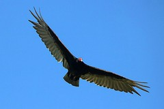 Turkey Vulture Soaring In The Sky 004 - Cathartes Aura (Chrisser) Tags: birds bird vultures vulture turkeyvultures turkeyvulture cathartesaura nature ontario canada canoneosrebelt6i canonef75300mmf456iiiusmlens cathartidae