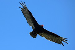 Turkey Vulture Soaring In The Sky 005 - Cathartes Aura (Chrisser) Tags: birds bird vultures vulture turkeyvultures turkeyvulture cathartesaura nature ontario canada canoneosrebelt6i canonef75300mmf456iiiusmlens cathartidae