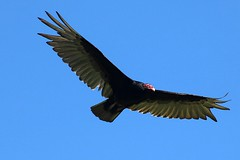 Turkey Vulture Soaring In The Sky 006 - Cathartes Aura (Chrisser) Tags: birds bird vultures vulture turkeyvultures turkeyvulture cathartesaura nature ontario canada canoneosrebelt6i canonef75300mmf456iiiusmlens cathartidae