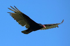 Turkey Vulture Soaring In The Sky 007 - Cathartes Aura (Chrisser) Tags: birds bird vultures vulture turkeyvultures turkeyvulture cathartesaura nature ontario canada canoneosrebelt6i canonef75300mmf456iiiusmlens cathartidae