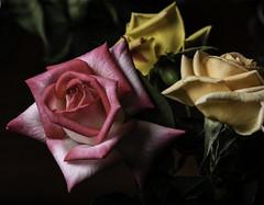Rose Trio From The Fair (Bill Gracey 23 Million Views) Tags: rose roses rosa fleur flower flor sandiegocountyfair delmarfair delmar offcameraflash ambientlight lastoliteezbox softbox yongnuo yongnuorf603n manualmode softlight textures selectivefocus