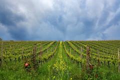 Stormy vineyard (Ivano Di Benedetto) Tags: storm vigneto tempesta nuvole clouds vineyard green verde pioggia filari