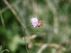 Honey Bee-ing made (Michael_G224) Tags: honeybee bee bug flower olympus em5markii nature