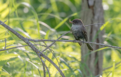 Eastern Phoebe (Moucherolle phébi) (miro_mtl) Tags: attente d7200 easternphoebe estrie magog moucherollephébi nikon nikond7200 outdoors tamron tamronsp150600mm ailes america amerique arbres bird branches campagne canada chasse chasseur country coursdeau eating eau feathers forêt hunter hunting insectes insects marais marsh nature oiseau plumage quebec river rivière trees waiting wetlands étang
