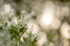 Privet (The lens profile) Tags: tair11133mm128 privet hedge