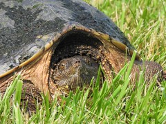 Break Time (Anton Shomali - Thank you for over 2 million views) Tags: wild pet nature wet grass rain nose eyes mud snapping turtle wildlife snappingturtle breaktime wildnature nikon p900 coolpix nikoncoolpixp900 dirt flickr photography photo wildlifephotography water shell hardshell