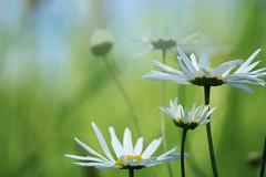 Flowers (lightersideofdark) Tags: flowers daisies pettles green bokeh