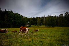 AY6A3191 (fcruse) Tags: sweden sverige cruse sommar naturephotography värmland 2019 travelphotography glafsfjorden glava naturfoto vanlife resefoto canonmarkiv crusefoto vwt5
