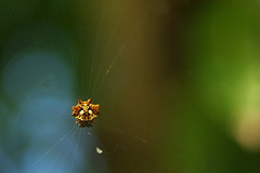 Spider (Dingilingi) Tags: aitutaki polynesia cookislands