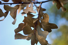 Leaves. (dccradio) Tags: lumberton nc northcarolina robesoncounty outdoors outdoor outside nature natural beauty beautiful scenic leaf leaves sky bluesky bokeh greenery foliage branch branches treebranch treebranches nikon d40 dslr photooftheday project365 photo365 june northeastpark raymondbpenningtonathleticcomplex penningtonathleticcomplex summer summertime evening tuesday tuesdaynight tuesdayevening