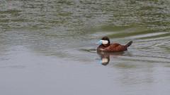 Érismature rousse (1) (Michel et Micheline) Tags: érismaturerousse oxyurajamaicensis ruddyduck baiedufebvre québec canada camping oiseaux canon canon70d canard duck wildlife 2019