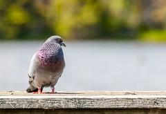 Mr. Pigeon (Karen_Chappell) Tags: bird nature bokeh pigeon animal nfld stjohns kentspond newfoundland eastcoast avalonpeninsula atlanticcanada canada pond water green grey purple blue
