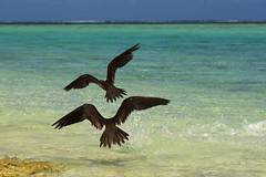 Birds (Dingilingi) Tags: aitutaki polynesia cookislands