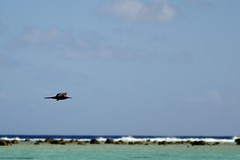 Bird (Dingilingi) Tags: aitutaki polynesia cookislands