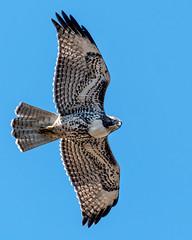 Hawk Overhead (lennycarl08) Tags: redtailedhawk hawk pointreyesnationalseashore raptor birdofprey